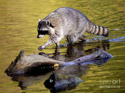 Photograph - Vancouver Racoon Walks On Water by Terry Elniski