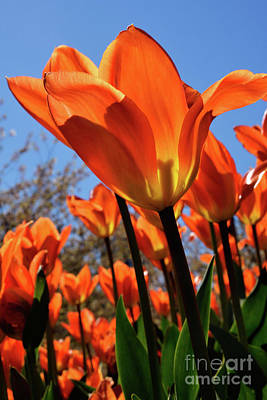Travel Rights Managed Images - Vancouver Spring Time Flowers 2017 - Tulips 2 Royalty-Free Image by Terry Elniski