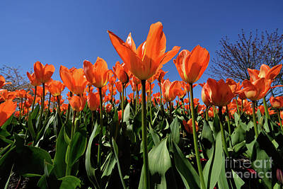 Photograph - Vancouver Spring Time Flowers 2017 - Tulips by Terry Elniski