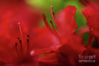 Photograph - Vancouver Spring Time Flowers - Deep Red Azaleas 4 by Terry Elniski