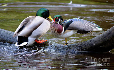 Photograph - Vancouver Wood Duck Stretching by Terry Elniski