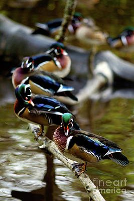 Photograph - Vancouver Wood Ducks All In A Row by Terry Elniski