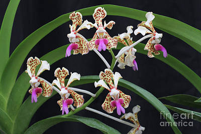 Photograph - Vanda Tricolor Orchid by Judy Whitton