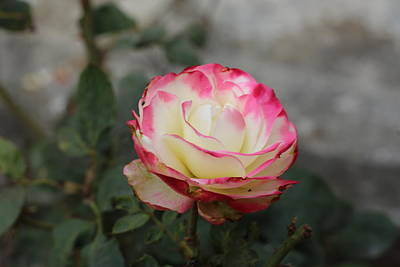 Photograph - Vanila Cherry Rose by Khalid Saeed