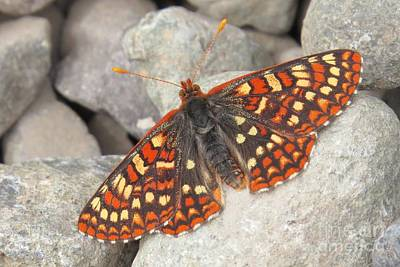 Photograph - Variable Checkerspot by Frank Townsley