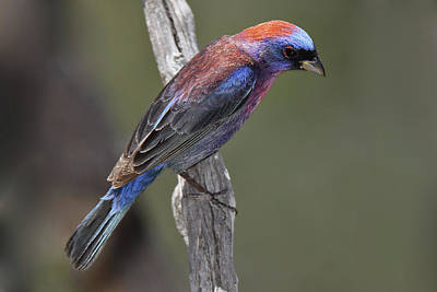 Photograph - Varied Bunting by Alan Lenk