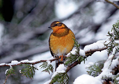 Photograph - Varied Thrush Bird 1 by Terry Elniski