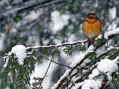 Photograph - Varied Thrush Bird 2 by Terry Elniski
