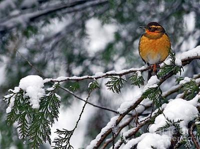 Photograph - Varied Thrush Bird 2 by Terry Elniski