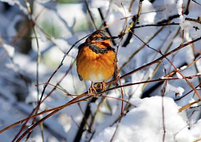 Photograph - Varied Thrush Bird - 3 by Terry Elniski