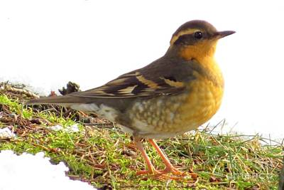 Photograph - Varied Thrush by Frank Townsley