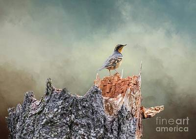 Varied Thrush On A Dead Tree Art Print