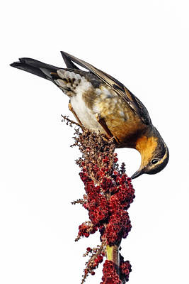 Photograph - Varied Thrush On White by Wes and Dotty Weber