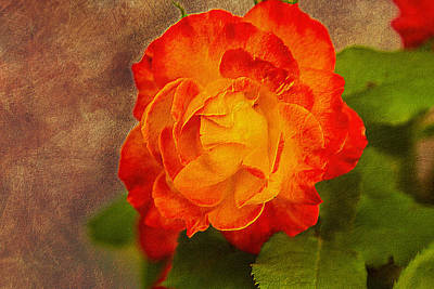 Photograph - Variegated Beauty - Rose Floral by Barry Jones