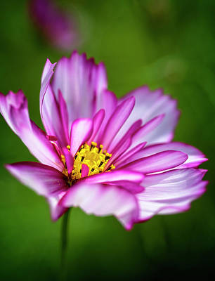 Photograph - Variegated Cosmos by Cyndy Doty
