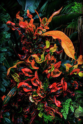 Conservatory Of Flowers Photograph - Variegated Croton Burst Of Color by Bonnie Follett