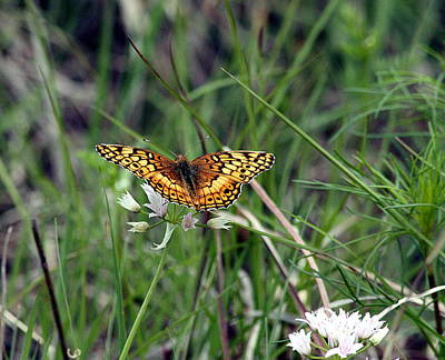 Photograph - Variegated Fritillary Butterfly  by Sheila Brown