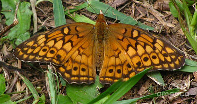 Photograph - Variegated Fritillary Butterfly by Donna Brown