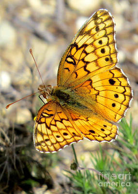 Photograph - Variegated Fritillary by Frank Townsley