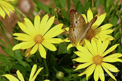 Photograph - Variegated Fritillary by Sean Griffin