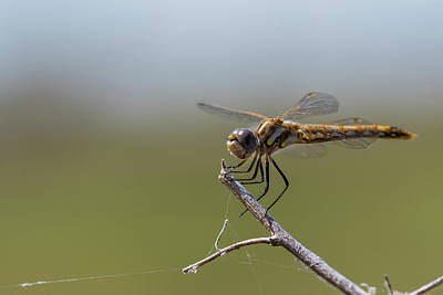 Photograph - Variegated Meadowhawk Dragonfly by Robert Potts