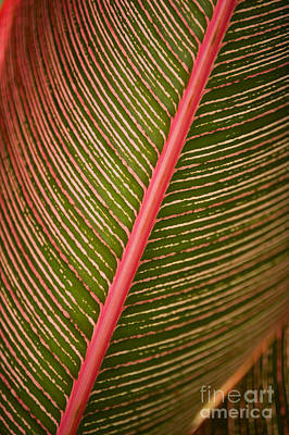 Photograph - Variegated Ti-leaf 2 by Ron Dahlquist - Printscapes