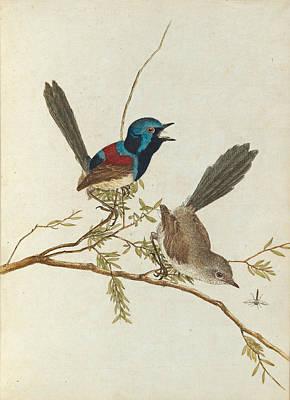 Drawing - Variegated Warbler by John Lewin