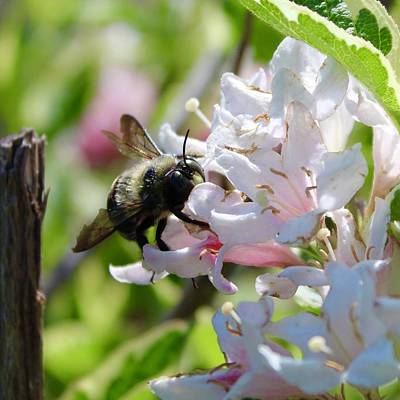 Photograph - Variegated Weigela Bush Buffet For The Bumblebee by Mandy Elliott