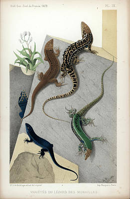 Art Print featuring the drawing Varieties Of Wall Lizard by Jacques von Bedriaga