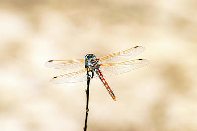 Photograph - Varigated Meadowhawk Dragonfly Sympetrum Corruptum by Frank Wilson