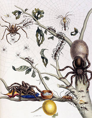 Spider Drawing - Various Arachnids From South America, 1726  by Maria Sibylla Graff Merian