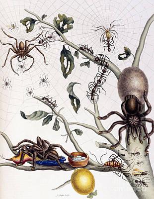 Arachnid Drawing - Various Arachnids From South America, 1726  by Maria Sibylla Graff Merian