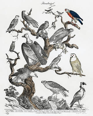 Drawing - Various Birds Of Prey Perched On A Tree by Unknown