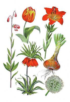 Lilium Bulbiferum Drawing - Various Flowers by Heinz Tschanz-Hofmann