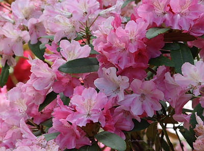 Photograph - Various Pink Rhododendrons by Jeanette C Landstrom