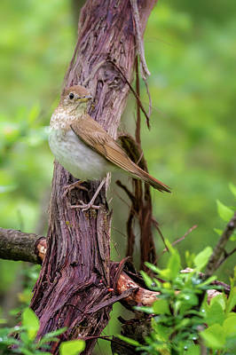 Photograph - Veery 2018 by Bill Wakeley