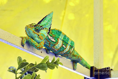 Photograph - Veiled Chameleon by Eddie Yerkish