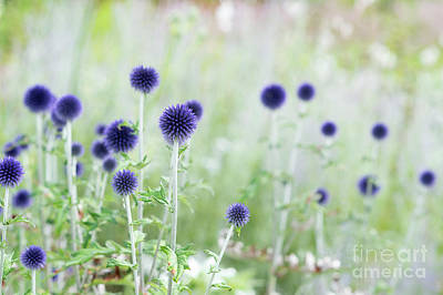 Asteraceae Photograph - Veitchs Blue by Tim Gainey