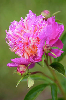 Photograph - Velma Atkinson. Beauty Of Peony Flowers by Jenny Rainbow