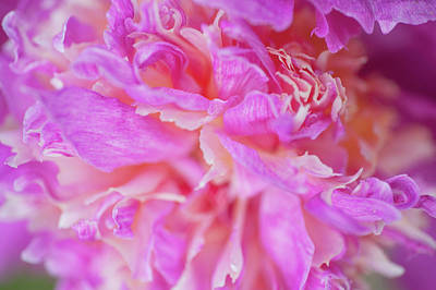 Photograph - Velma Atkinson Macro. Beauty Of Peony Flowers by Jenny Rainbow