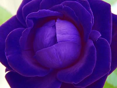 Velvet Blue Lettuce Rose Art Print