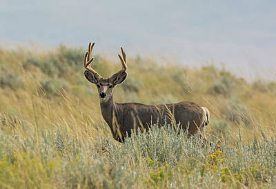 Photograph - Velvet Buck In The Sage by Loree Johnson