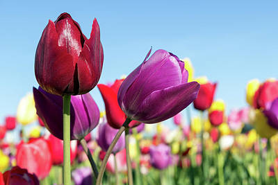 Farmland Photograph - Velvet Red And Purple Tulip Flowers Closeup by David Gn