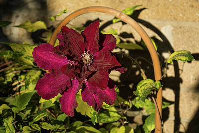 Photograph - Velvety Hot Summer - Cardinal Clematis In The Sunshine by Georgia Mizuleva