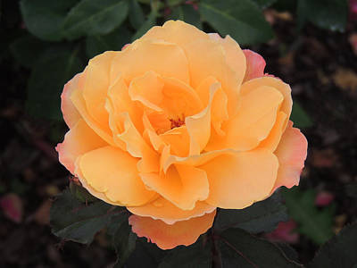 Photograph - Velvety Orange Rose by Teresa Schomig