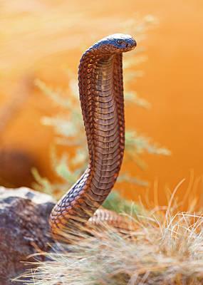 Venomous Cobra On Rock Art Print