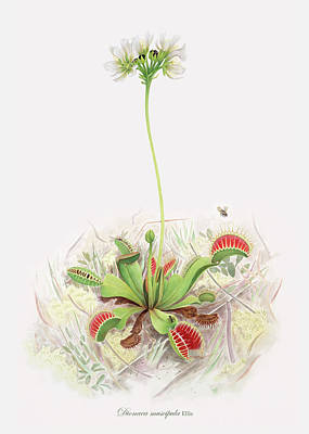 Insect Eating Plants Drawing - Venus Fly Trap  by Scott Bennett