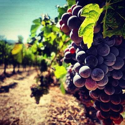 Grapes Photograph - Verasion In The Vineyards by Crystal Peterson