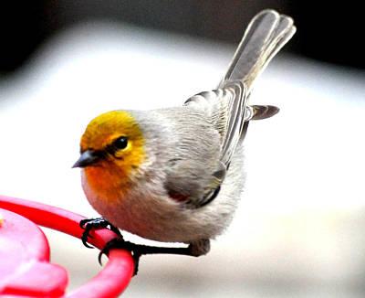 Thorn Tail Photograph - Verdin Song Bird On Hummingbird Perch by Jay Milo