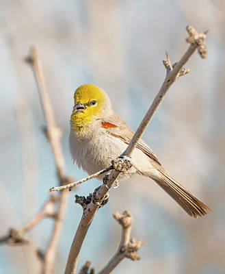 Photograph - Verdin Song by Loree Johnson